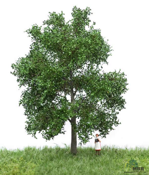MBR 51-2202 - Summer Beech Tree