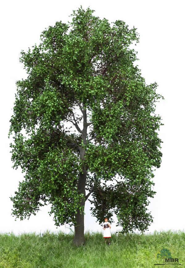 MBR 51-2302 - Summer Beech Tree