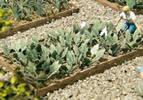 Kohlrabi Plants