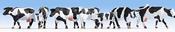 Cows, black-white
